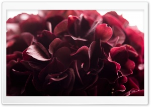 Dark Red Flower Macro HD Wide Wallpaper for 4K UHD Widescreen desktop & smartphone