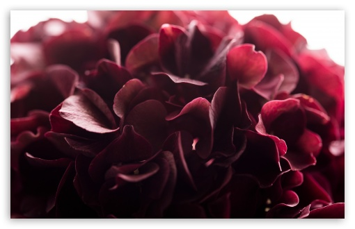 Dark Red Flower Macro ❤ 4K UHD Wallpaper for Wide 16:10 5:3 Widescreen WHXGA WQXGA WUXGA WXGA WGA ; UltraWide 21:9 24:10 ; 4K UHD 16:9 Ultra High Definition 2160p 1440p 1080p 900p 720p ; UHD 16:9 2160p 1440p 1080p 900p 720p ; Standard 4:3 5:4 3:2 Fullscreen UXGA XGA SVGA QSXGA SXGA DVGA HVGA HQVGA ( Apple PowerBook G4 iPhone 4 3G 3GS iPod Touch ) ; Smartphone 16:9 3:2 5:3 2160p 1440p 1080p 900p 720p DVGA HVGA HQVGA ( Apple PowerBook G4 iPhone 4 3G 3GS iPod Touch ) WGA ; Tablet 1:1 ; iPad 1/2/Mini ; Mobile 4:3 5:3 3:2 16:9 5:4 - UXGA XGA SVGA WGA DVGA HVGA HQVGA ( Apple PowerBook G4 iPhone 4 3G 3GS iPod Touch ) 2160p 1440p 1080p 900p 720p QSXGA SXGA ;
