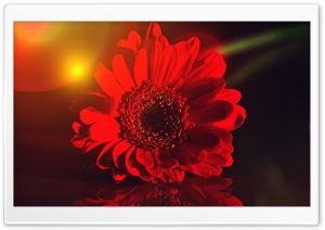 Dark Red Gerbera Daisy HD Wide Wallpaper for Widescreen