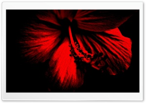 Dark Red Hibiscus HD Wide Wallpaper for Widescreen