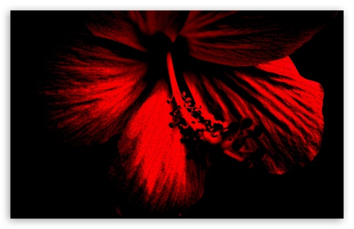 Dark Red Hibiscus HD wallpaper for Wide 16:10 5:3 Widescreen WHXGA WQXGA WUXGA WXGA WGA ; HD 16:9 High Definition WQHD QWXGA 1080p 900p 720p QHD nHD ; Standard 4:3 5:4 3:2 Fullscreen UXGA XGA SVGA QSXGA SXGA DVGA HVGA HQVGA devices ( Apple PowerBook G4 iPhone 4 3G 3GS iPod Touch ) ; iPad 1/2/Mini ; Mobile 4:3 5:3 3:2 16:9 5:4 - UXGA XGA SVGA WGA DVGA HVGA HQVGA devices ( Apple PowerBook G4 iPhone 4 3G 3GS iPod Touch ) WQHD QWXGA 1080p 900p 720p QHD nHD QSXGA SXGA ;