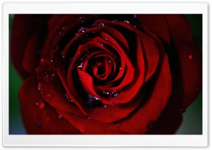 Dark Red Rose HD Wide Wallpaper for Widescreen