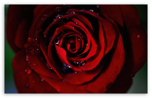 Dark Red Rose HD wallpaper for Wide 16:10 5:3 Widescreen WHXGA WQXGA WUXGA WXGA WGA ; HD 16:9 High Definition WQHD QWXGA 1080p 900p 720p QHD nHD ; UHD 16:9 WQHD QWXGA 1080p 900p 720p QHD nHD ; Standard 4:3 5:4 3:2 Fullscreen UXGA XGA SVGA QSXGA SXGA DVGA HVGA HQVGA devices ( Apple PowerBook G4 iPhone 4 3G 3GS iPod Touch ) ; Tablet 1:1 ; iPad 1/2/Mini ; Mobile 4:3 5:3 3:2 16:9 5:4 - UXGA XGA SVGA WGA DVGA HVGA HQVGA devices ( Apple PowerBook G4 iPhone 4 3G 3GS iPod Touch ) WQHD QWXGA 1080p 900p 720p QHD nHD QSXGA SXGA ;