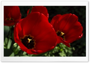Dark Red Tulips Flowers HD Wide Wallpaper for Widescreen