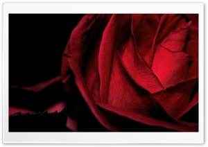 Dark Romantic Red Rose HD Wide Wallpaper for Widescreen