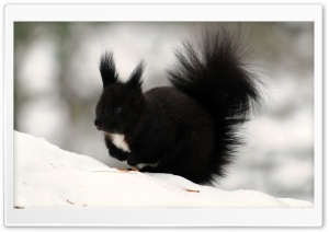 Dark Squirrel HD Wide Wallpaper for Widescreen