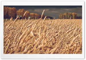 Dark Stormy Clouds Over Wheat Field HD Wide Wallpaper for Widescreen