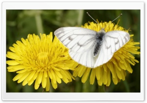 Dark Veined White, Bergweiling HD Wide Wallpaper for Widescreen