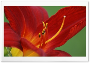 Day Lily HD Wide Wallpaper for Widescreen