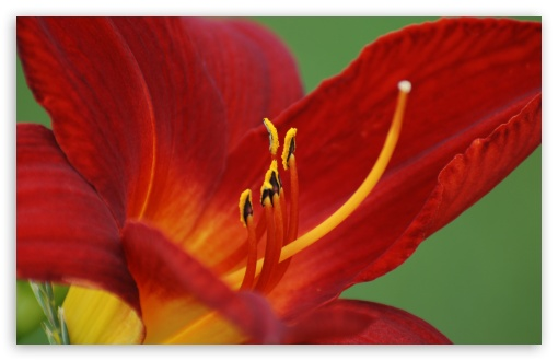 Day Lily HD wallpaper for Wide 16:10 5:3 Widescreen WHXGA WQXGA WUXGA WXGA WGA ; HD 16:9 High Definition WQHD QWXGA 1080p 900p 720p QHD nHD ; UHD 16:9 WQHD QWXGA 1080p 900p 720p QHD nHD ; Standard 4:3 5:4 3:2 Fullscreen UXGA XGA SVGA QSXGA SXGA DVGA HVGA HQVGA devices ( Apple PowerBook G4 iPhone 4 3G 3GS iPod Touch ) ; iPad 1/2/Mini ; Mobile 4:3 5:3 3:2 16:9 5:4 - UXGA XGA SVGA WGA DVGA HVGA HQVGA devices ( Apple PowerBook G4 iPhone 4 3G 3GS iPod Touch ) WQHD QWXGA 1080p 900p 720p QHD nHD QSXGA SXGA ;