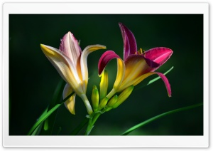 Daylilies HD Wide Wallpaper for Widescreen