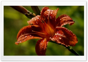 Daylily Ultra HD Wallpaper for 4K UHD Widescreen desktop, tablet & smartphone