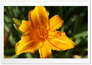 Daylily HD Wide Wallpaper for Widescreen