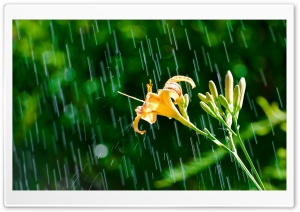 Daylily In The Rain HD Wide Wallpaper for Widescreen