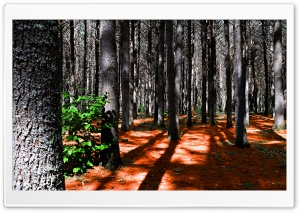 Deep pine forest - Fort de pins HD Wide Wallpaper for Widescreen