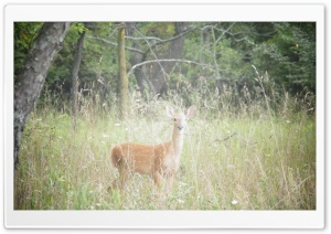 Deer HD Wide Wallpaper for Widescreen