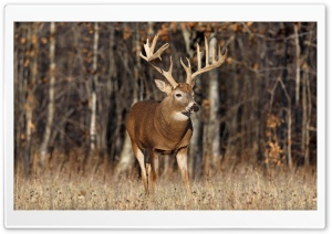 Deer In The Forest HD Wide Wallpaper for Widescreen