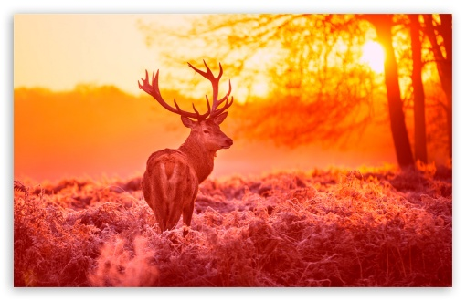 Deer Under The Sunset Warm Forest Grass HD wallpaper for Wide 16:10 5:3 Widescreen WHXGA WQXGA WUXGA WXGA WGA ; HD 16:9 High Definition WQHD QWXGA 1080p 900p 720p QHD nHD ; Standard 4:3 Fullscreen UXGA XGA SVGA ; iPad 1/2/Mini ; Mobile 4:3 5:3 3:2 16:9 - UXGA XGA SVGA WGA DVGA HVGA HQVGA devices ( Apple PowerBook G4 iPhone 4 3G 3GS iPod Touch ) WQHD QWXGA 1080p 900p 720p QHD nHD ;