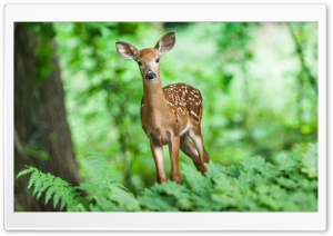 Deer, Woods HD Wide Wallpaper for Widescreen
