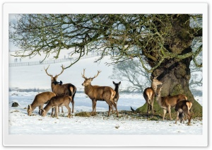 Deers Animals, Under the Tree, Winter HD Wide Wallpaper for 4K UHD Widescreen desktop & smartphone