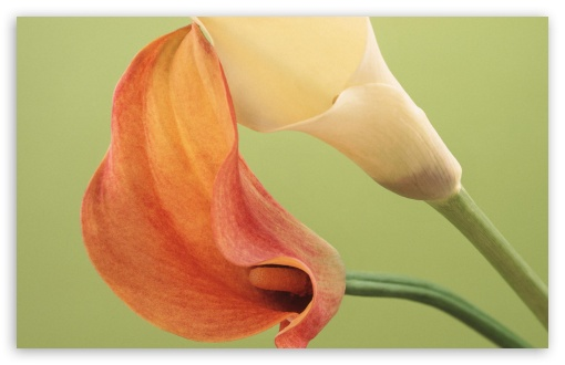 Delicate Calla Lilies HD wallpaper for Wide 16:10 5:3 Widescreen WHXGA WQXGA WUXGA WXGA WGA ; HD 16:9 High Definition WQHD QWXGA 1080p 900p 720p QHD nHD ; Standard 4:3 5:4 3:2 Fullscreen UXGA XGA SVGA QSXGA SXGA DVGA HVGA HQVGA devices ( Apple PowerBook G4 iPhone 4 3G 3GS iPod Touch ) ; iPad 1/2/Mini ; Mobile 4:3 5:3 3:2 16:9 5:4 - UXGA XGA SVGA WGA DVGA HVGA HQVGA devices ( Apple PowerBook G4 iPhone 4 3G 3GS iPod Touch ) WQHD QWXGA 1080p 900p 720p QHD nHD QSXGA SXGA ;