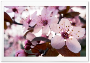 Delicate Cherry Blossom HD Wide Wallpaper for Widescreen