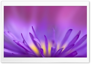 Delicate Purple Petals HD Wide Wallpaper for Widescreen