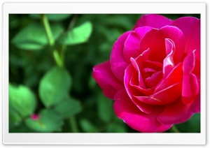 Delicate Rose HD Wide Wallpaper for Widescreen