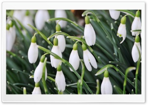 Delicate Snowdrops HD Wide Wallpaper for Widescreen