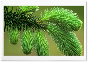 Dew Covered Spruce Bough HD Wide Wallpaper for Widescreen