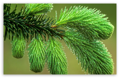 Dew Covered Spruce Bough HD wallpaper for Wide 16:10 5:3 Widescreen WHXGA WQXGA WUXGA WXGA WGA ; HD 16:9 High Definition WQHD QWXGA 1080p 900p 720p QHD nHD ; Standard 4:3 5:4 3:2 Fullscreen UXGA XGA SVGA QSXGA SXGA DVGA HVGA HQVGA devices ( Apple PowerBook G4 iPhone 4 3G 3GS iPod Touch ) ; Tablet 1:1 ; iPad 1/2/Mini ; Mobile 4:3 5:3 3:2 16:9 5:4 - UXGA XGA SVGA WGA DVGA HVGA HQVGA devices ( Apple PowerBook G4 iPhone 4 3G 3GS iPod Touch ) WQHD QWXGA 1080p 900p 720p QHD nHD QSXGA SXGA ;