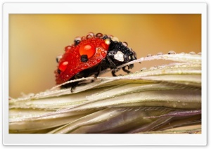 Dew Drops On Ladybug HD Wide Wallpaper for 4K UHD Widescreen desktop & smartphone