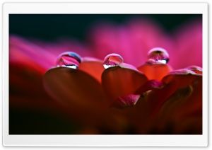 Dew On Petals Macro HD Wide Wallpaper for Widescreen