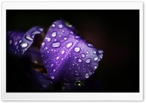 Dew On Purple Petals HD Wide Wallpaper for Widescreen