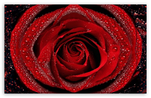 Dew On Red Rose HD wallpaper for Standard 4:3 5:4 Fullscreen UXGA XGA SVGA QSXGA SXGA ; Wide 16:10 5:3 Widescreen WHXGA WQXGA WUXGA WXGA WGA ; HD 16:9 High Definition WQHD QWXGA 1080p 900p 720p QHD nHD ; Other 3:2 DVGA HVGA HQVGA devices ( Apple PowerBook G4 iPhone 4 3G 3GS iPod Touch ) ; Mobile VGA WVGA iPhone iPad PSP Phone - VGA QVGA Smartphone ( PocketPC GPS iPod Zune BlackBerry HTC Samsung LG Nokia Eten Asus ) WVGA WQVGA Smartphone ( HTC Samsung Sony Ericsson LG Vertu MIO ) HVGA Smartphone ( Apple iPhone iPod BlackBerry HTC Samsung Nokia ) Sony PSP Zune HD Zen ; Tablet 2 Android ;
