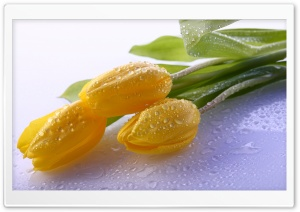 Dew On Yellow Tulips HD Wide Wallpaper for Widescreen