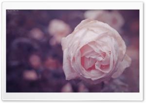 Dew Rose HD Wide Wallpaper for Widescreen