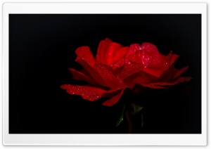 DewDrops on a Red Rose HD Wide Wallpaper for Widescreen