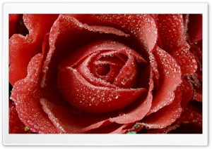 Dewy Red Rose HD Wide Wallpaper for Widescreen