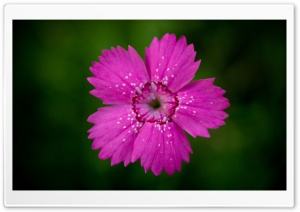 Dianthus HD Wide Wallpaper for Widescreen