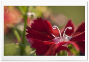 Dianthus Flower Macro HD Wide Wallpaper for Widescreen