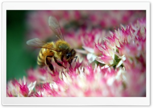 Diligent Bee HD Wide Wallpaper for Widescreen