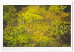 Dill Flowers HD Wide Wallpaper for Widescreen