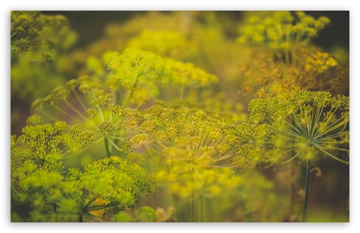 Dill Flowers ❤ 4K UHD Wallpaper for Wide 16:10 5:3 Widescreen WHXGA WQXGA WUXGA WXGA WGA ; 4K UHD 16:9 Ultra High Definition 2160p 1440p 1080p 900p 720p ; UHD 16:9 2160p 1440p 1080p 900p 720p ; Standard 4:3 5:4 3:2 Fullscreen UXGA XGA SVGA QSXGA SXGA DVGA HVGA HQVGA ( Apple PowerBook G4 iPhone 4 3G 3GS iPod Touch ) ; Smartphone 5:3 WGA ; Tablet 1:1 ; iPad 1/2/Mini ; Mobile 4:3 5:3 3:2 16:9 5:4 - UXGA XGA SVGA WGA DVGA HVGA HQVGA ( Apple PowerBook G4 iPhone 4 3G 3GS iPod Touch ) 2160p 1440p 1080p 900p 720p QSXGA SXGA ; Dual 16:10 5:3 16:9 4:3 5:4 WHXGA WQXGA WUXGA WXGA WGA 2160p 1440p 1080p 900p 720p UXGA XGA SVGA QSXGA SXGA ;