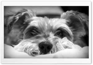 Dog B&W HD Wide Wallpaper for Widescreen