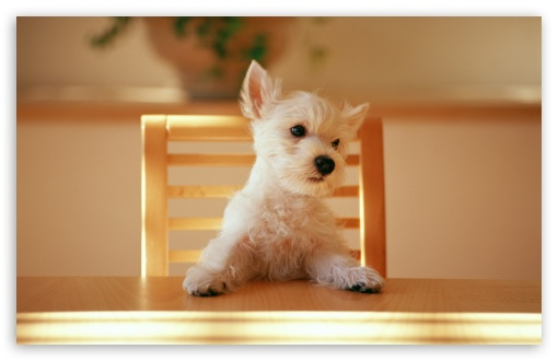 Dog Sitting On A Chair At The Table HD wallpaper for Wide 16:10 5:3 Widescreen WHXGA WQXGA WUXGA WXGA WGA ; HD 16:9 High Definition WQHD QWXGA 1080p 900p 720p QHD nHD ; Standard 4:3 5:4 3:2 Fullscreen UXGA XGA SVGA QSXGA SXGA DVGA HVGA HQVGA devices ( Apple PowerBook G4 iPhone 4 3G 3GS iPod Touch ) ; Tablet 1:1 ; iPad 1/2/Mini ; Mobile 4:3 5:3 3:2 16:9 5:4 - UXGA XGA SVGA WGA DVGA HVGA HQVGA devices ( Apple PowerBook G4 iPhone 4 3G 3GS iPod Touch ) WQHD QWXGA 1080p 900p 720p QHD nHD QSXGA SXGA ;