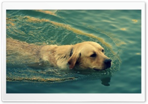 Dog Swimming HD Wide Wallpaper for Widescreen
