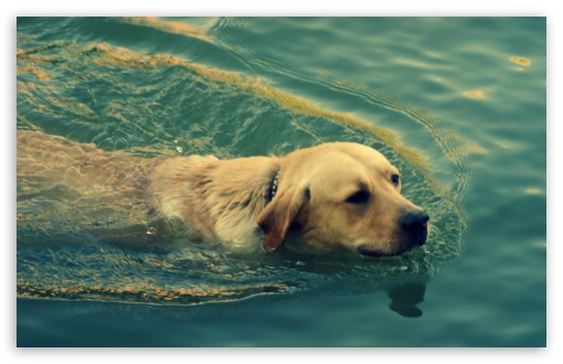 Dog Swimming HD wallpaper for Wide 16:10 5:3 Widescreen WHXGA WQXGA WUXGA WXGA WGA ; HD 16:9 High Definition WQHD QWXGA 1080p 900p 720p QHD nHD ; UHD 16:9 WQHD QWXGA 1080p 900p 720p QHD nHD ; Standard 4:3 5:4 3:2 Fullscreen UXGA XGA SVGA QSXGA SXGA DVGA HVGA HQVGA devices ( Apple PowerBook G4 iPhone 4 3G 3GS iPod Touch ) ; Tablet 1:1 ; iPad 1/2/Mini ; Mobile 4:3 5:3 3:2 16:9 5:4 - UXGA XGA SVGA WGA DVGA HVGA HQVGA devices ( Apple PowerBook G4 iPhone 4 3G 3GS iPod Touch ) WQHD QWXGA 1080p 900p 720p QHD nHD QSXGA SXGA ; Dual 5:4 QSXGA SXGA ;