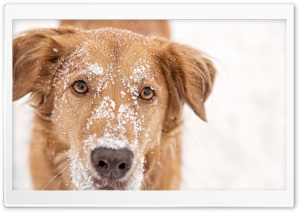 Dog With Snow on Head HD Wide Wallpaper for Widescreen