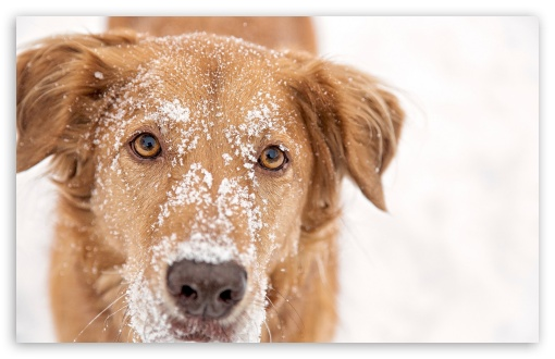 Dog With Snow on Head UltraHD Wallpaper for Wide 16:10 5:3 Widescreen WHXGA WQXGA WUXGA WXGA WGA ; 8K UHD TV 16:9 Ultra High Definition 2160p 1440p 1080p 900p 720p ; Standard 4:3 5:4 3:2 Fullscreen UXGA XGA SVGA QSXGA SXGA DVGA HVGA HQVGA ( Apple PowerBook G4 iPhone 4 3G 3GS iPod Touch ) ; Tablet 1:1 ; iPad 1/2/Mini ; Mobile 4:3 5:3 3:2 16:9 5:4 - UXGA XGA SVGA WGA DVGA HVGA HQVGA ( Apple PowerBook G4 iPhone 4 3G 3GS iPod Touch ) 2160p 1440p 1080p 900p 720p QSXGA SXGA ;